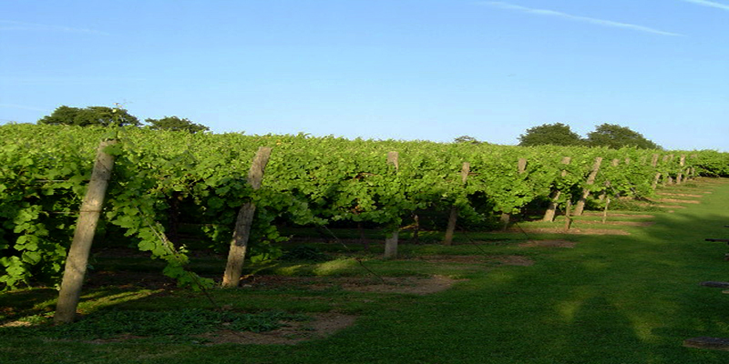 Bibbenden Vineyard